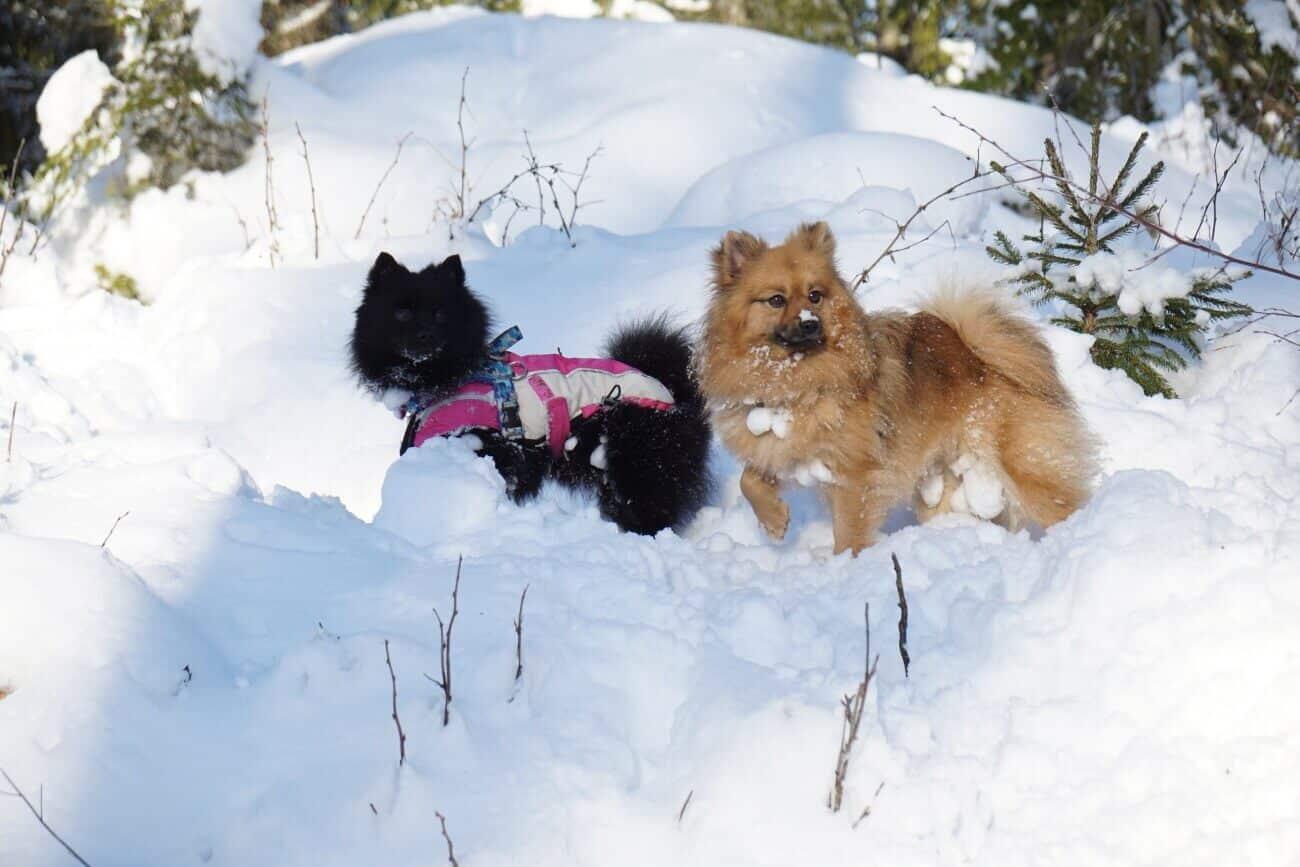Mys i Snön